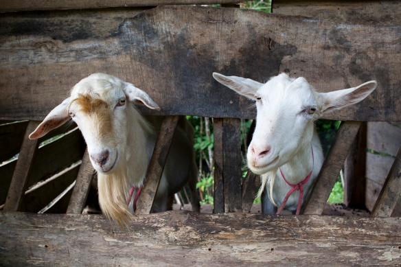 The two billy goats in their stalls