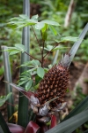A pineapple sharing space with manioc plants in the Dow community garden.