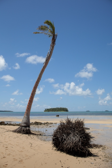 Carolyn Monastra, Coconut trees being killed by rising sea levels (in Tonga)