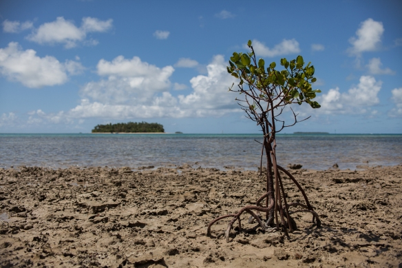 Mangrove sapling planted to try to hold back rising seas that are killing vegetation on the island