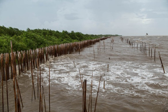 Mangroves planted along the coast of Bang Pu to slow down the surf of the rising sea.